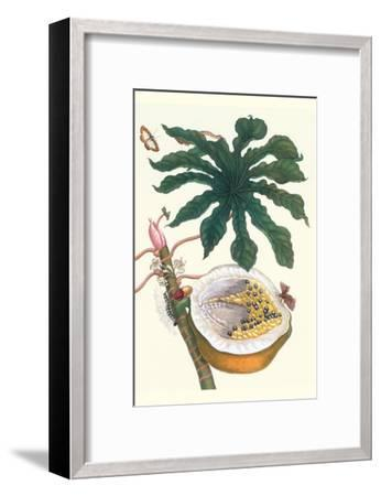Papaya with Caterpillar, Pupa and Butterfly of the Metalmark Family and a Moth on the Fruit-Maria Sibylla Merian-Framed Art Print