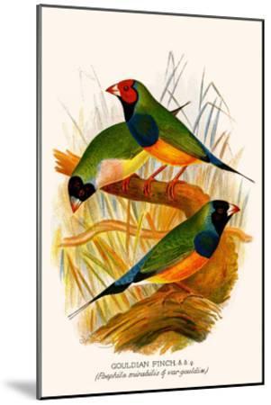 Gouldian Finch-F^w^ Frohawk-Mounted Art Print