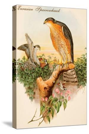 Eurasian Sparrowhawk-John Gould-Stretched Canvas Print
