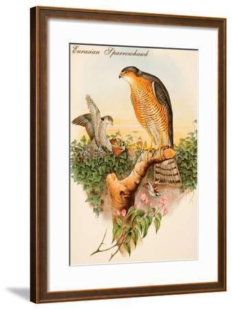 Eurasian Sparrowhawk-John Gould-Framed Art Print