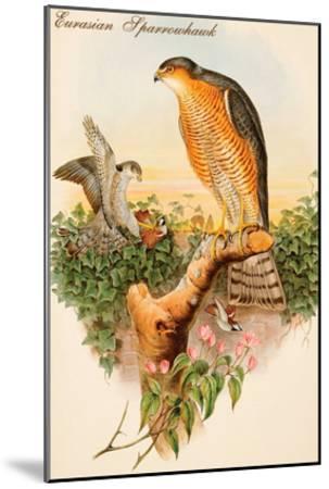 Eurasian Sparrowhawk-John Gould-Mounted Art Print
