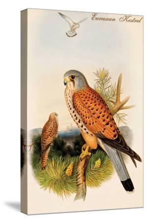 Eurasian Kestrel-John Gould-Stretched Canvas Print