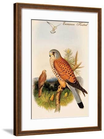 Eurasian Kestrel-John Gould-Framed Art Print