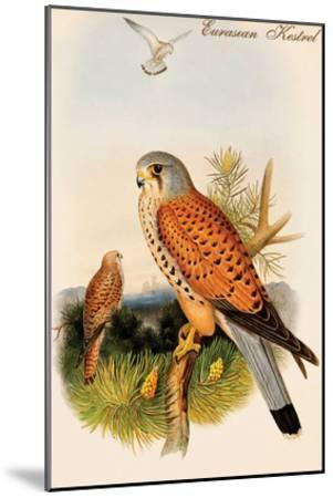Eurasian Kestrel-John Gould-Mounted Art Print