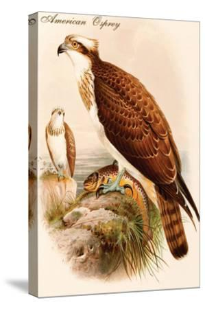 American Osprey-John Gould-Stretched Canvas Print