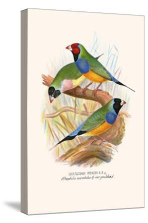 Gouldian Finch, Black Headed and Red Headed-F^w^ Frohawk-Stretched Canvas Print