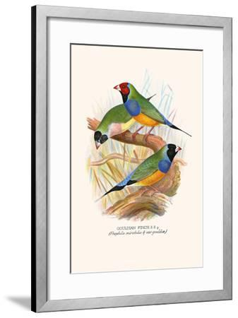 Gouldian Finch, Black Headed and Red Headed-F^w^ Frohawk-Framed Art Print