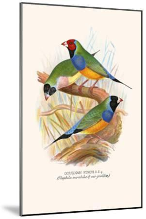 Gouldian Finch, Black Headed and Red Headed-F^w^ Frohawk-Mounted Art Print