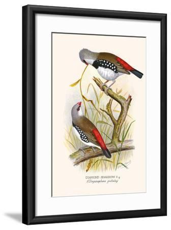 Diamond Sparrow or White Headed Finch-F^w^ Frohawk-Framed Art Print