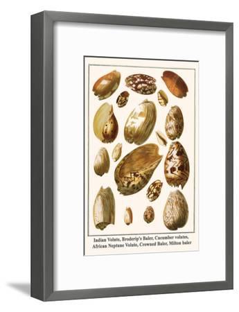 Indian Volute, Broderip's Baler, Cucumber Volutes, African Neptune Volute, Crowned Baler, etc.-Albertus Seba-Framed Art Print