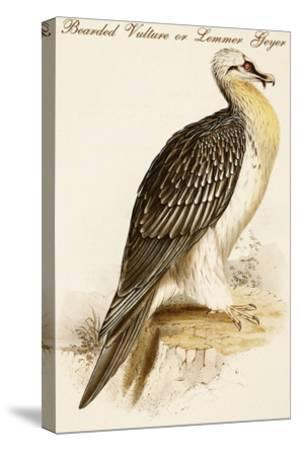 Bearded Vulture or Lemmer Geyer-John Gould-Stretched Canvas Print