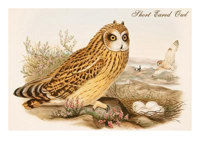 Short Eared Owl-John Gould-Stretched Canvas Print