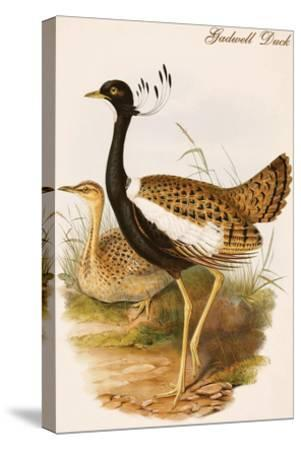 Gadwell Duck-John Gould-Stretched Canvas Print