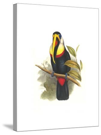 Inca or White Throated Toucan-John Gould-Stretched Canvas Print