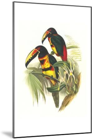 Collared Aracari-John Gould-Mounted Art Print