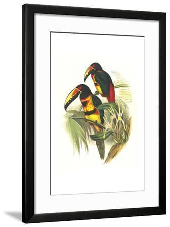 Collared Aracari-John Gould-Framed Art Print