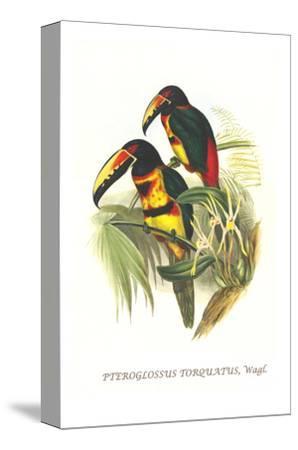 Collared Aracari-John Gould-Stretched Canvas Print