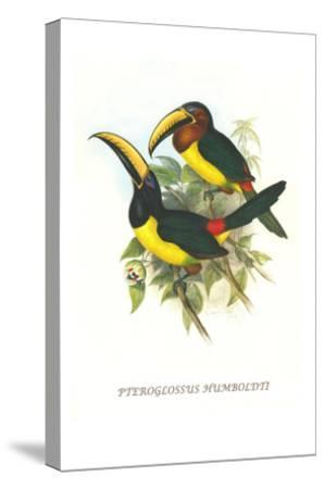 Lettered Aracari-John Gould-Stretched Canvas Print