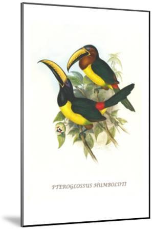 Lettered Aracari-John Gould-Mounted Art Print