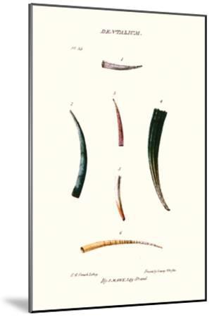 Tooth Shells-John Mawe-Mounted Art Print