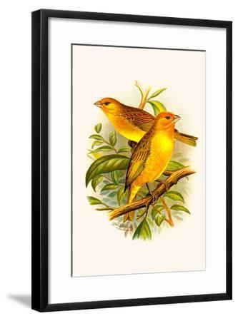 Safron Finch or Brazilian Bunting or Brazilian Canary-F^w^ Frohawk-Framed Art Print