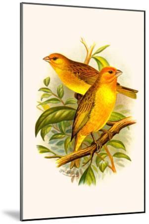 Safron Finch or Brazilian Bunting or Brazilian Canary-F^w^ Frohawk-Mounted Art Print