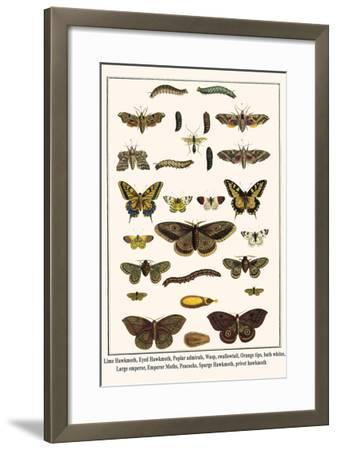 Lime Hawkmoth, Eyed Hawkmoth, Poplar Admirals, Wasp, Swallowtail, Orange Tips, Bath Whites, etc.-Albertus Seba-Framed Art Print