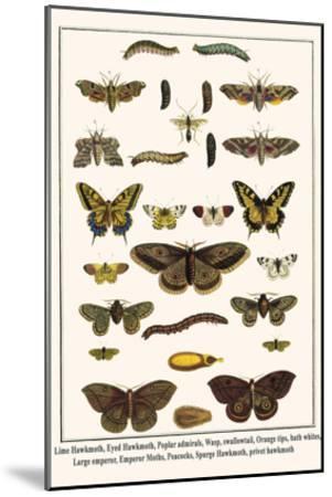 Lime Hawkmoth, Eyed Hawkmoth, Poplar Admirals, Wasp, Swallowtail, Orange Tips, Bath Whites, etc.-Albertus Seba-Mounted Art Print