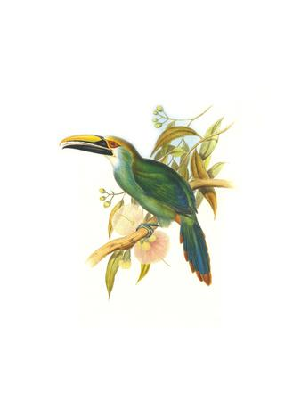 Wagler's Toucanet-John Gould-Art Print
