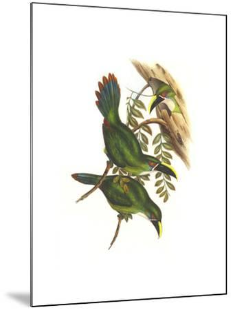 White Throated Toucanet-John Gould-Mounted Art Print