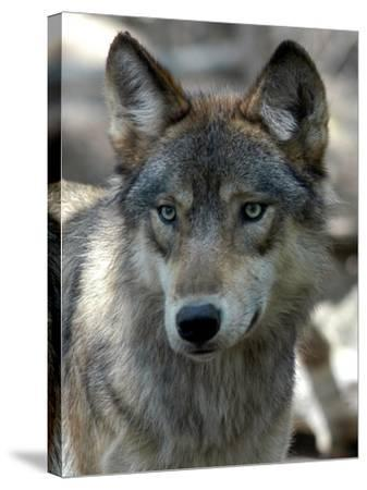 Gray Wolf Endangered-Dawn Villella-Stretched Canvas Print
