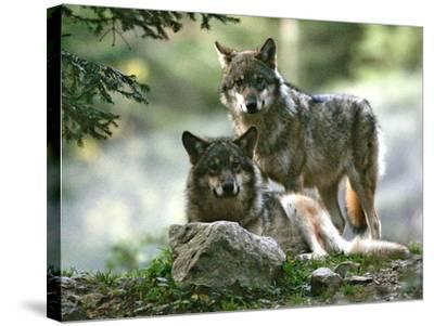 Asap Entertainment Plays with Wolves-Lionel Cironneau-Stretched Canvas Print
