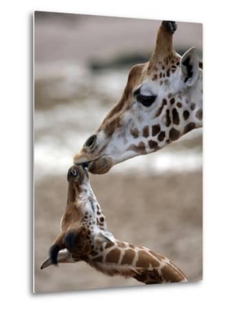 APTOPIX DEU Tiere Giraffenbaby-Kai-uwe Knoth-Metal Print