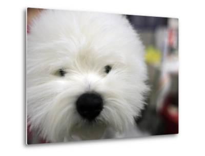 APTOPIX Westminster Dog Show-Mary Altaffer-Metal Print