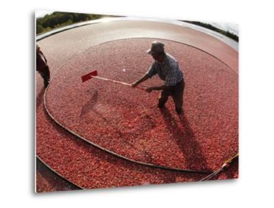APTOPIX Cranberry Harvest-Charles Krupa-Metal Print