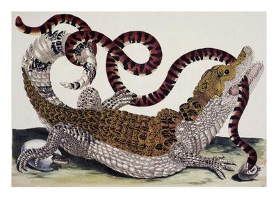 Crocodile and Snake-Maria Sibylla Merian-Premium Giclee Print