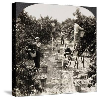 Delaware: Peach Orchard--Stretched Canvas Print
