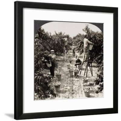 Delaware: Peach Orchard--Framed Giclee Print