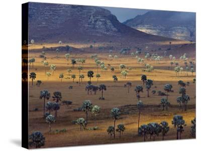 Palm Savanna, Horombe Plateau, Southern Madagascar-Frans Lanting-Stretched Canvas Print