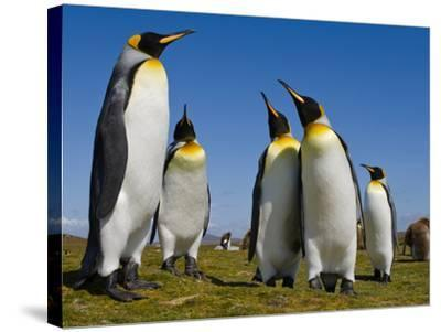 King Penguins, Aptenodytes Patagonicus, Falkland Islands-Frans Lanting-Stretched Canvas Print