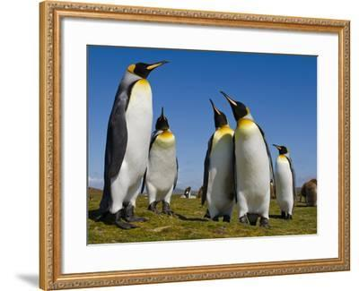 King Penguins, Aptenodytes Patagonicus, Falkland Islands-Frans Lanting-Framed Photographic Print