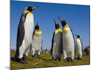 King Penguins, Aptenodytes Patagonicus, Falkland Islands-Frans Lanting-Mounted Photographic Print