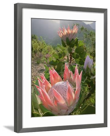 King Protea, Protea Cynaroides, Kirstenbosch National Botanical Garden, Cape Town, South Africa-Frans Lanting-Framed Photographic Print