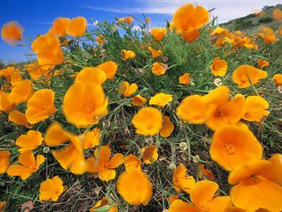 California Poppies, Eschscholzia Californica, Big Sur, California-Frans Lanting-Framed Photographic Print