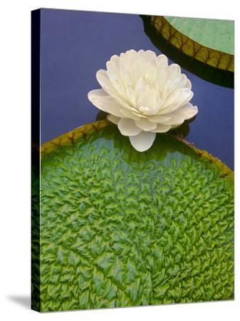 Giant Water Lily, Victoria Regia, Pantanal, Brazil-Frans Lanting-Stretched Canvas Print