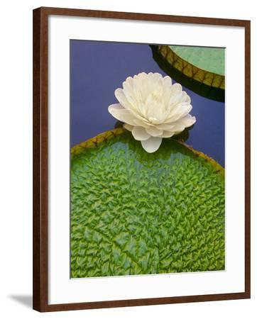 Giant Water Lily, Victoria Regia, Pantanal, Brazil-Frans Lanting-Framed Photographic Print