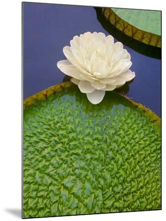 Giant Water Lily, Victoria Regia, Pantanal, Brazil-Frans Lanting-Mounted Photographic Print