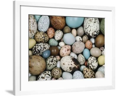 Bird Egg Collection, Western Foundation of Vertebrate Zoology, Los Angeles, California-Frans Lanting-Framed Photographic Print