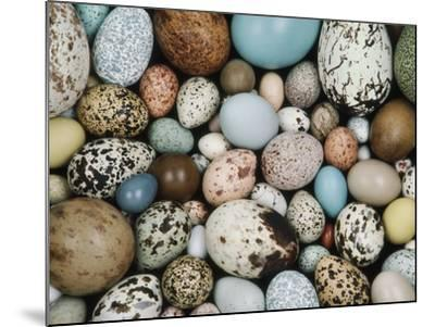 Bird Egg Collection, Western Foundation of Vertebrate Zoology, Los Angeles, California-Frans Lanting-Mounted Photographic Print