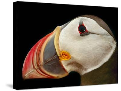 Atlantic Puffin Male, Fratercula Arctica, Norway-Frans Lanting-Stretched Canvas Print